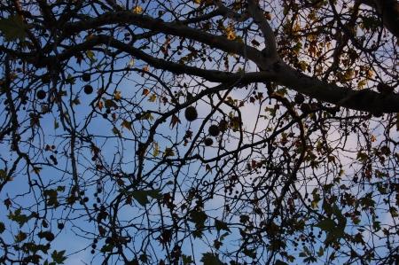 プラタナス: シカモアの木の枝