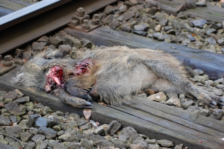 cadaver: dead wild boar piglet on rails