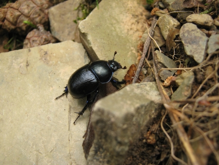 Scarabeo con elitre nero strisciare su grandi rocce photo