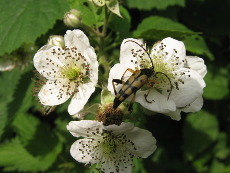 Longhorn beetle on white flower of blackberry bush  photo