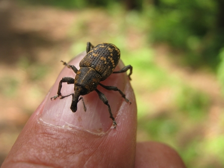 hylobius: Beetle pine weevil crawling over finger