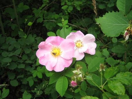 Eglantine  dog rose  pink flower with fly photo