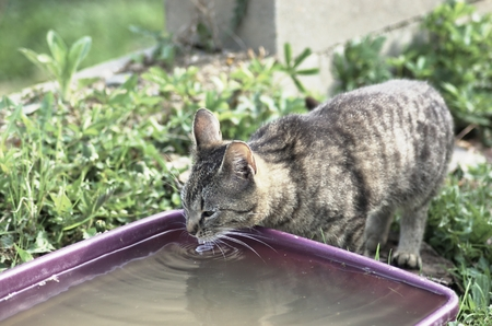 countrylife: Shorthair tabby cat drinks water Stock Photo