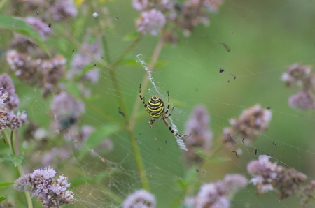Yellow black wasp spider on web in middle flowering peppermint photo