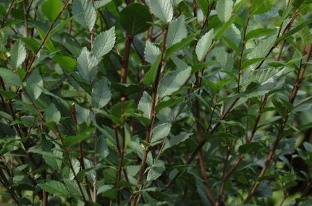 elm: Elm hedge Stock Photo