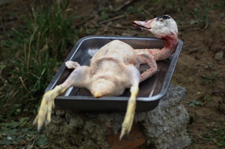 Ritually slaughtered duck, during preparation for cooking. photo