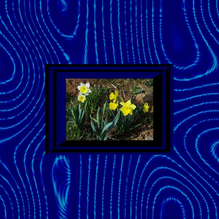 White and yellow flowering narcissus in blue black stylized op art frame on blue wavy background photo