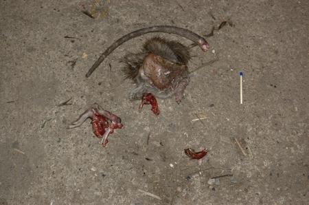 part of me: Los restos de la rata. que fue muerto y parcialmente comido por un gato doméstico. En el sitio, se puede ver la cola, la parte de la piel con los extermities, con restos de carne, fragmentos de huesos y algunas vísceras. El cráneo estaba completamente comido. Al lado de la i cadáver