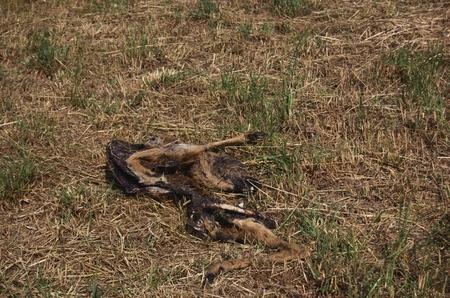 karkas: De ontbindend karkas van een hert hoog naar laag droog gras Stockfoto