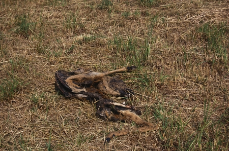 cadaver: Dead animals in the meadow, near Cisovice. According to the bones and remnants of skin with the hair, its a doe. Photographed July 18, 2015, in the morning. Stock Photo