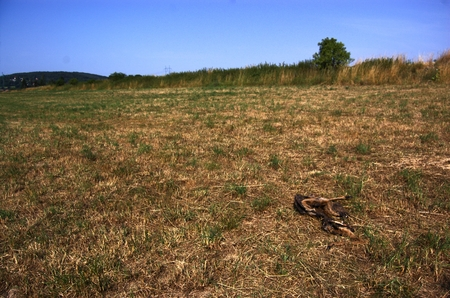sky is the limit: Landscape with the carcass. Mown meadow with dry grass under a clear sky. On the horizon bushes on the field limit. In the foreground on the right drying dead deer.