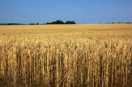 visible: Ripe grain on the field with visible green limit at horizon