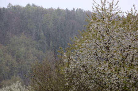 BOJOV, MNISECKO (CENTRAL BOHEMIA), CZECH REPUBLIC - APRIL 28 - 16 CET: Spring storm with snow and hail amidst blossoming trees. Illustrative photo for meteorological, weather and climate topics.