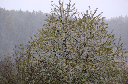 topics: Spring storm with snow and hail amidst blossoming trees. Illustrative photo for meteorological, weather and climate topics.