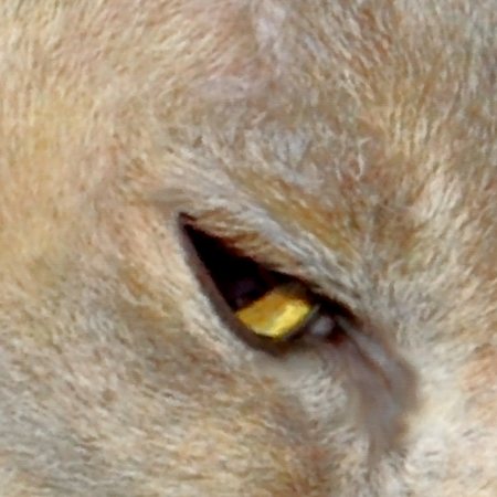 Eye of lilac tortie Burma cat - modified photography - digital painting
