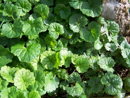 Glechoma hederacea - medicinal herb - Creeping plant - is applied in the kitchen and in folk medicine. In the Middle Ages, the popes were considered to be a miraculous plant protecting from the sea and enchantment. The collection is collected from April to May. Stock Photo