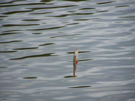 Perch on fishing line