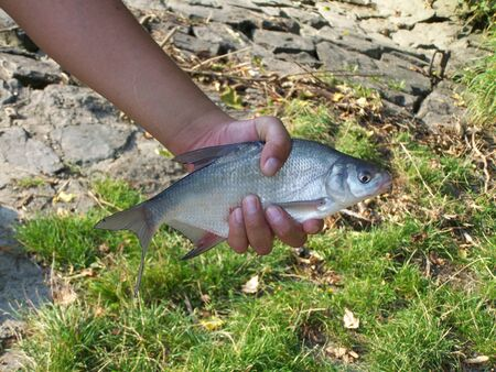 alive zanthe fish in human hand over grass and stony ground Stock Photo