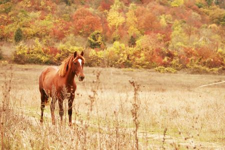 Free red horse on the field by autumn forest photo