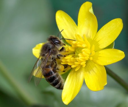 Worker bee collecting pollen on yellow flower Stock Photo