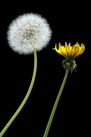 dandelion snow: Two dandelions – blooming and dried, isolated on black