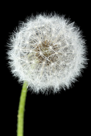 pappus: Blossoming dandelion, isolated on black