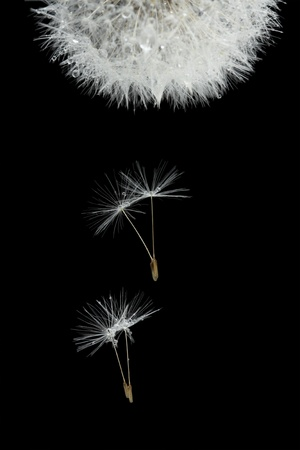 Flying seeds of blossoming dandelion, isolated on black photo