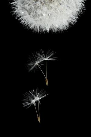 umbel: Flying seeds of blossoming dandelion, isolated on black