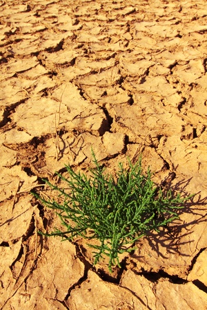 Plant grows in the cracked soil in desert photo