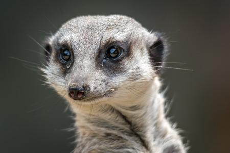 Meerkat - suricatta Suricata