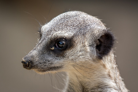 suricatta: Meerkat - Suricata suricatta