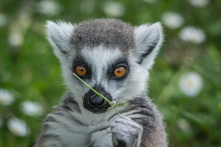 catta: Ring-tailed lemur - Lemur catta