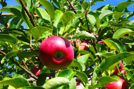 Apples hanging from a tree in an orchard Stockfoto