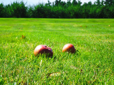 Close up of apples laying in a field on a late summers day photo
