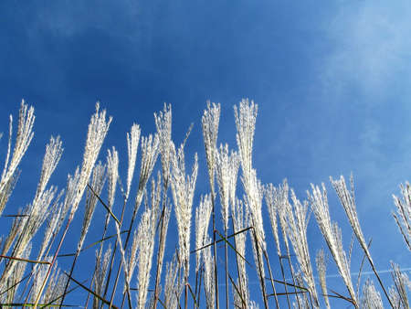 plant seed: Winter wheat against a blue sky