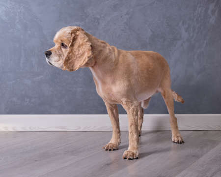 Cocker spaniel stands close-up in front of a gray wall on the floor. Comprehensive grooming is provided to the pet. 版權商用圖片