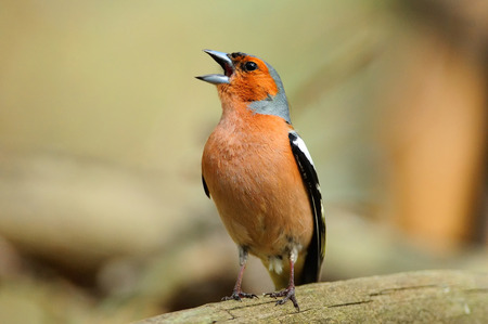 Chaffinch in the spring loudly sings, sitting on a fallen tree. 스톡 콘텐츠