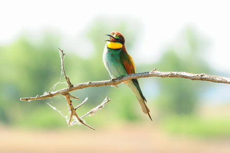 European bee-eater (Merops apiaster) sits on a branch with open beak.