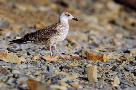 A young European herring gull (Larus argentatus) walks along a stony shore.