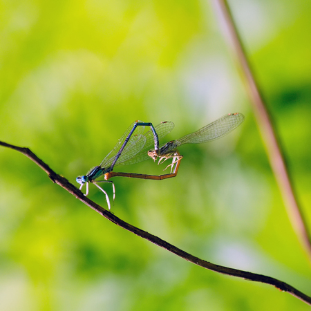 Two dragonflies (dainty bluet) formed a heart for Valentines Day.