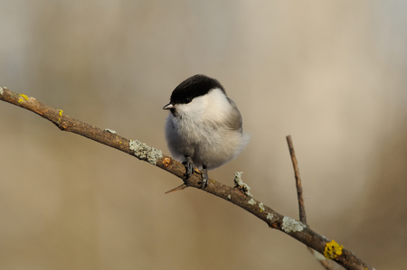 Willow tit (Poecile montanus) sits on a branch on a soft background, with a sunflower seed in its paws.