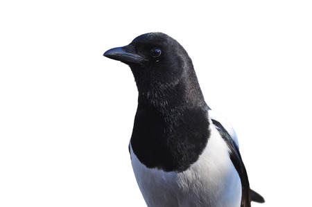 Portret of the Eurasian magpie or common magpie (Pica pica) isolated on a white background.