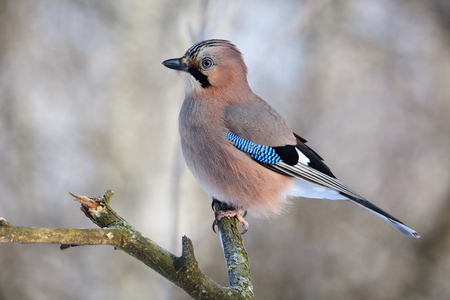 Eurasian jay (Garrulus glandarius) sitting on a branch in a forest under the rays of the sun (close up).