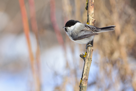 Willow tit (Poecile montanus) sits on a branch covered with lichen (under the rays of the rising sun).