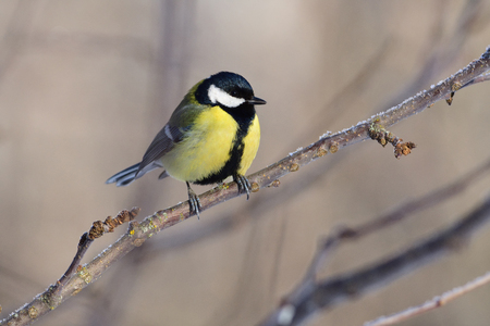 Great tit (Parus major) sits on a branch of an apple tree, meeting the dawn. Stock Photo