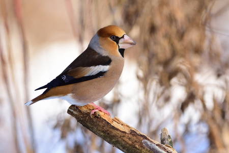 Large beak hawfinch (Coccothraustes coccothraustes) sits on a broken branch among dry grass.