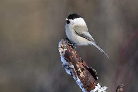 Willow tit (Poecile montanus) with ice crystals on its beak sits on a thick broken branch. Stock Photo