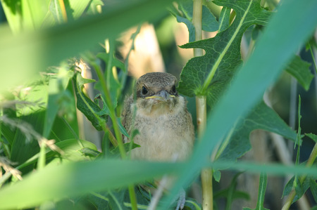 Red-backed shrikes (lanius collurio) chick hides in high green grass (large eyes, yellow beak).