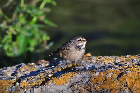A young bluethroat (Luscinia svecica) sits on a concrete structure covered with lichen.