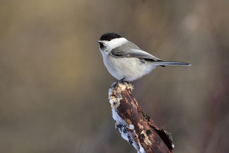 Willow tit (Poecile montanus) sits on a broken branch (sun reflect in eye, blurred background).